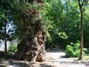 Targu Jiu - Arbore secular in parc